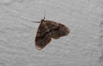 Ein Frostspanner-Männchen ruht sich an der Hauswand aus