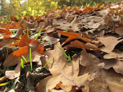 Zuletzt fallen auch die Blätter der Eiche