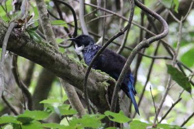So laut und einfallsreich wie der Tui singt bei uns kaum ein Vogel