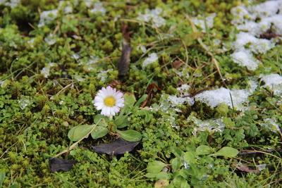 Die Gänseblümchen blühen einfach den Winter durch.