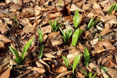 Unter dem Laub vom Vorjahr sprießen schon die ersten Bärlauchblätter.