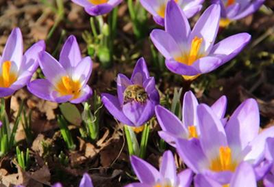 ... denn es ist tatsäclich schon warm genug, dass die ersten Bienen ausfliegen.
