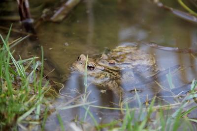 Die Erdkröten bei der Hochzeit.
