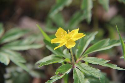 Nebenan blüht eine nahe Verwandte, das Gelbe Windröschen (Anemone ranunculoides)