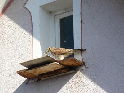 Hier hat das Turmfalkenmännchen seine Beute in Sicherheit gebracht. Vom Weibchen ist es leicht an seiner grauen Kopffärbung zu unterscheiden. Fotografiert von Astrid