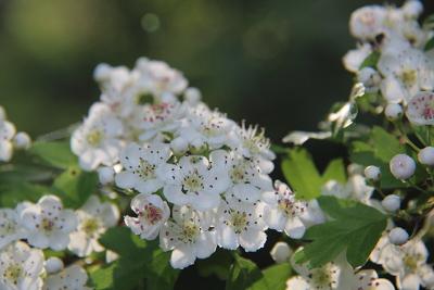 Und zu welcher Pflanzenfamilie der Weißdorn wohl gehört?