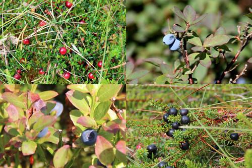 Beeren im Moor - lecker sehen sie ja alle aus, aber ob sie das auch sind?