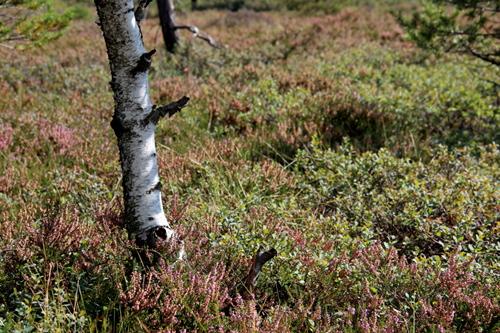 Die Birken gehören zu den wenigen Bäumen, die sich bis auf die Hochfläche des Moores wagen, hier zwischen blühendem Heidekraut.