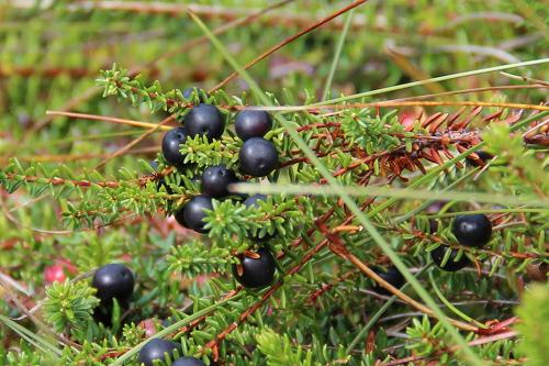 Kleine schwarze Kugelfrüchte gehören zur Krähenbeere.