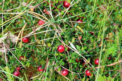 Versteckt am Boden reifen die Früchte der Moosbeere.