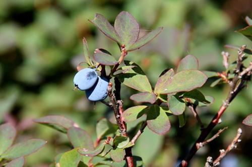 Auch blaue Früchte an kleinen Sträuchern: die Rauschbeere.