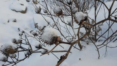 Ein Schneemützchen steht dem Stechapfel auch gut.