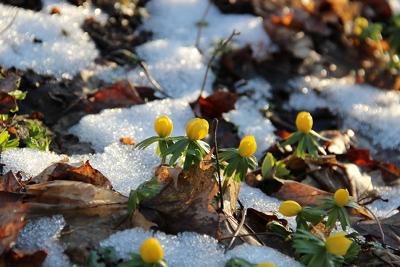 Die Winterlinge machen den Anfang in der Reihe der Frühlingsblumen.