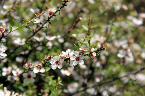 Nebendran blühen unerschrocken die Kanuka-Büsche...