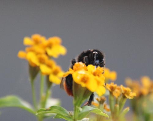 ... aber die mit Zuckerwasser aufgewertete Blüte war ihr noch lieber.